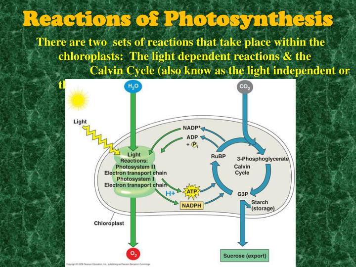 There are two  sets of reactions that take place within the chloroplasts:  The light dependent reactions & the Calvin Cycle (also know as the light independent or the dark cycle)