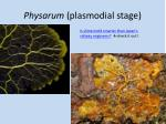 physarum plasmodial stage