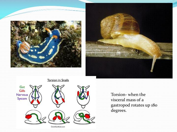 Torsion- when the visceral mass of a gastropod rotates up 180 degrees.