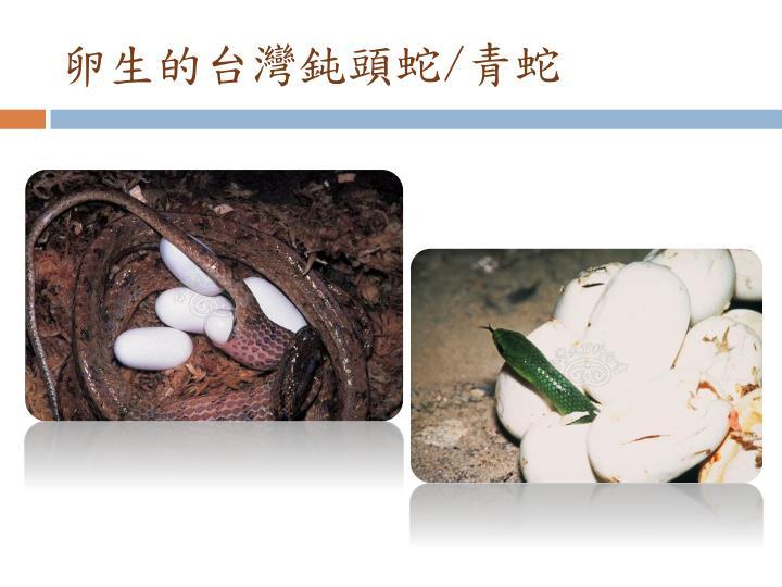 卵生的台灣鈍頭蛇