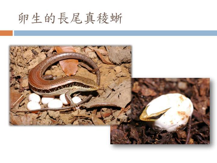卵生的長尾真稜蜥