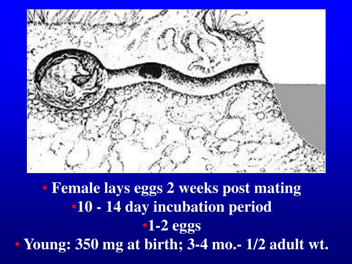 Female lays eggs 2 weeks post mating