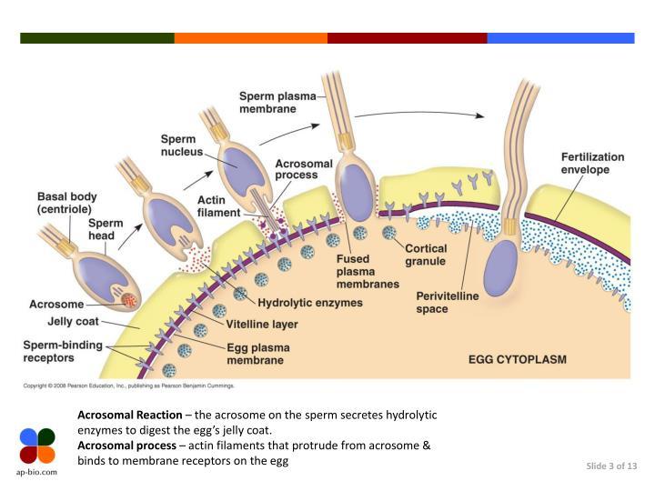 Acrosomal