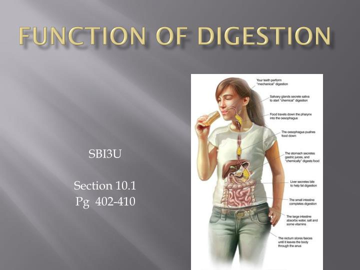 function of digestion n.