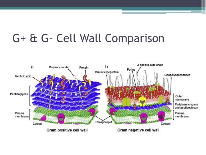 G+ & G- Cell Wall Comparison