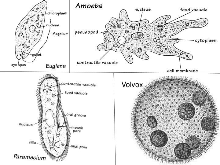 ppt - protists 4  euglena  amoeba  paramecium  volvox powerpoint presentation