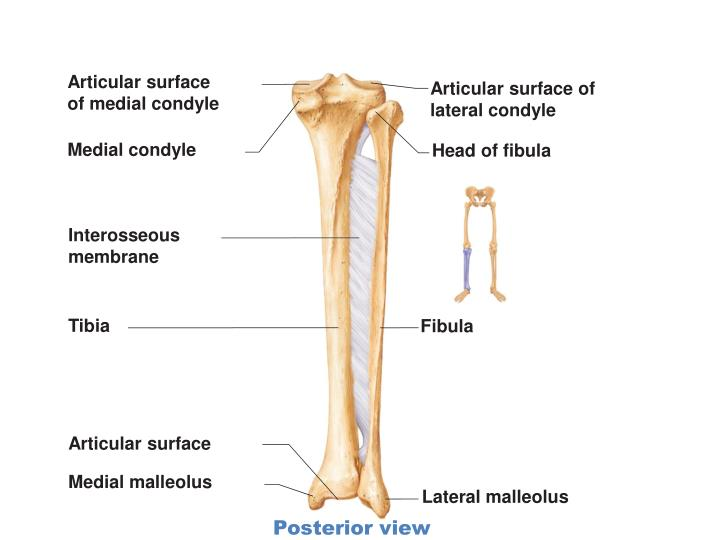 Articular surface
