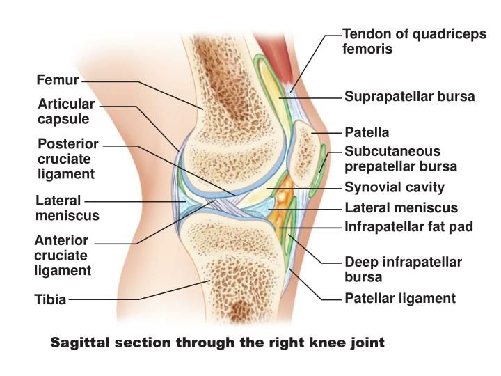 Tendon of quadriceps