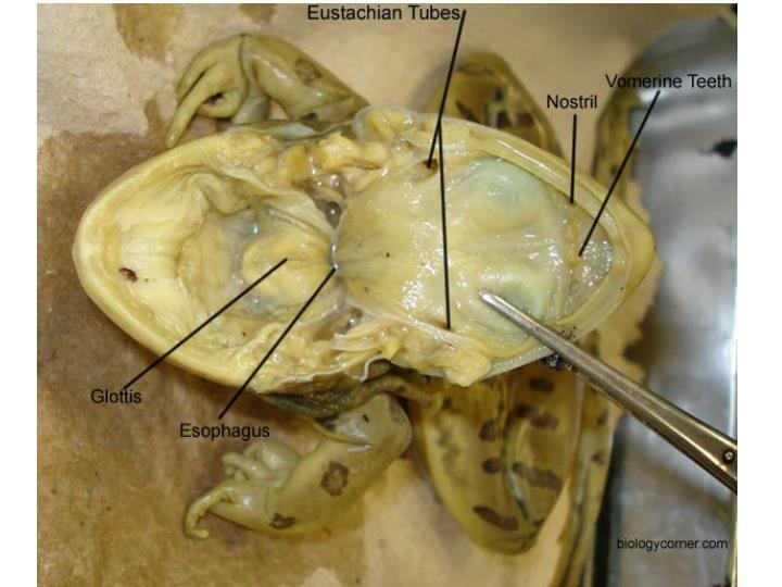 Vomerine teeth eustachian tubes glottis esophagus liver stomach lungs small intestine heart