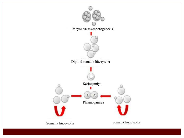 Meyoz və askosporogenezis