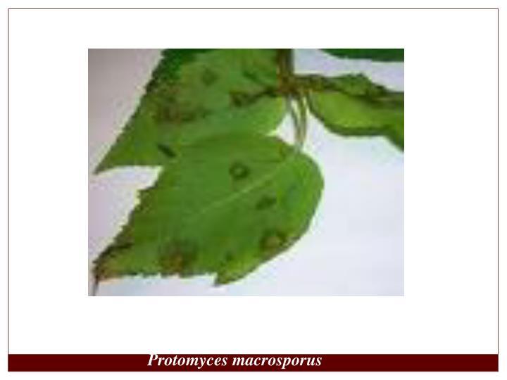 Protomyces