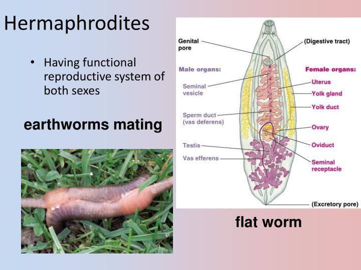 Hermaphrodites