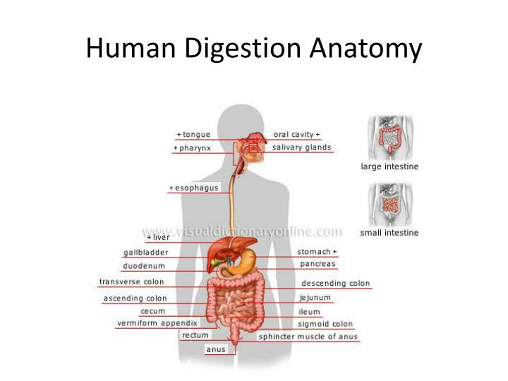 Ppt Human Digestion Anatomy Powerpoint Presentation Id2286258