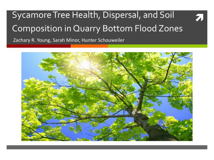 sycamore tree health dispersal and soil composition in quarry bottom flood zones n.