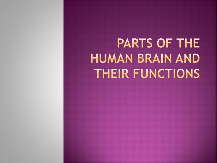 parts of the human brain and their functions n.