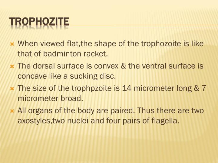 When viewed flat,the shape of the trophozoite is like that of badminton racket.