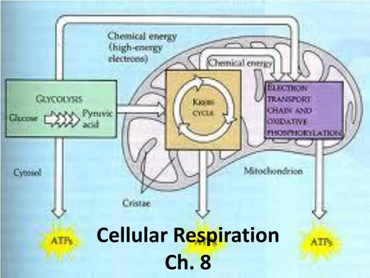 an analysis of mitochondria cells in the production of energy for cellular processes Mitochondria are tiny organelles inside cells that are involved in releasing energy from food this process is known as cellular respiration it is for this reason that mitochondria are often referred to as the powerhouses of the cell.