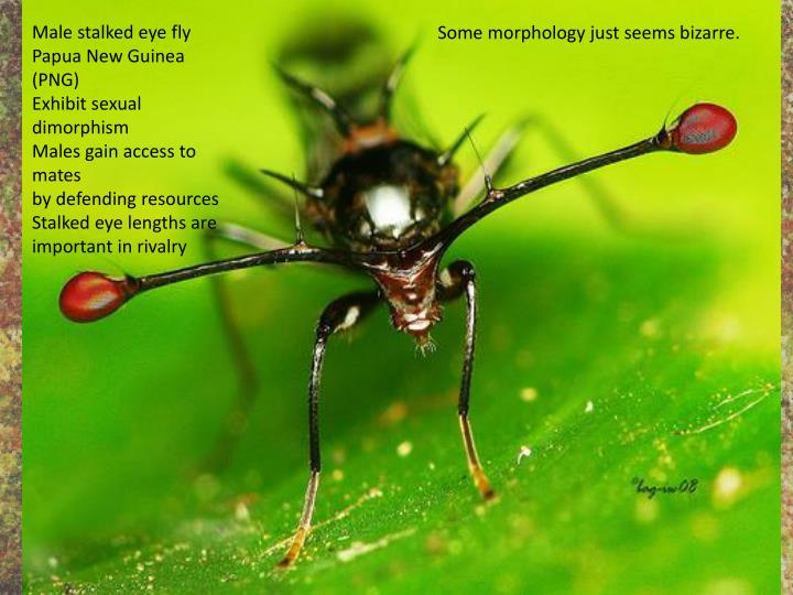 Male stalked eye fly