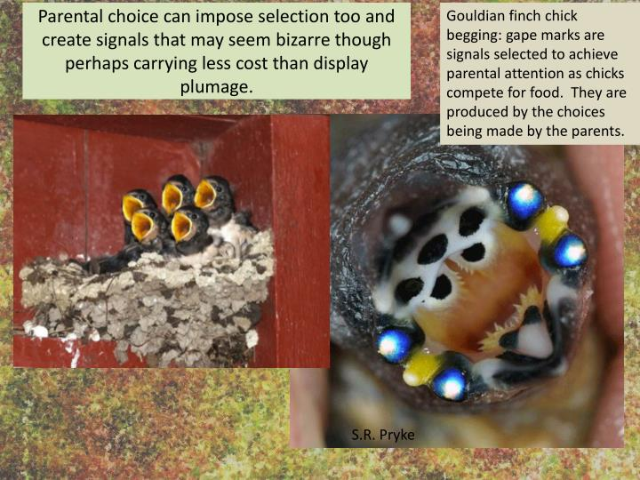 Gouldian finch chick begging: gape marks are