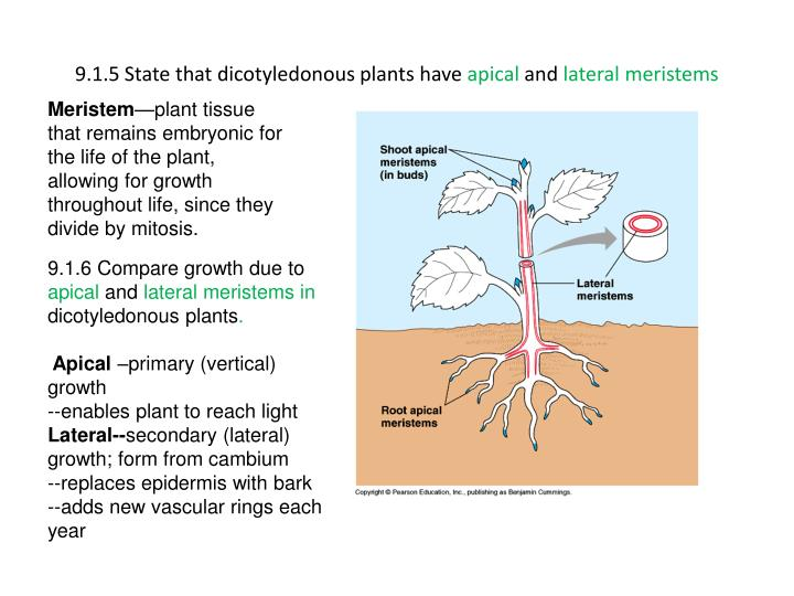 9.1.5 State that dicotyledonous plants have
