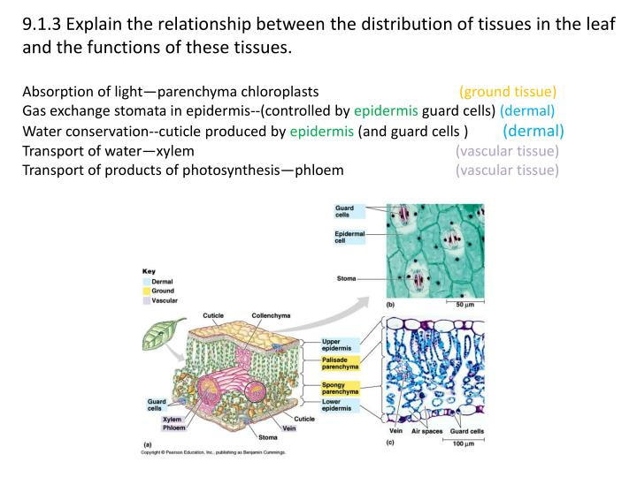 9.1.3 Explain the relationship between the distribution of tissues in the leaf and the functions of these tissues.