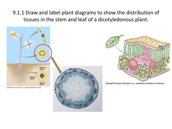 9.1.1 Draw and label plant diagrams to show the distribution of tissues in the stem and leaf of a dicotyledonous plant.