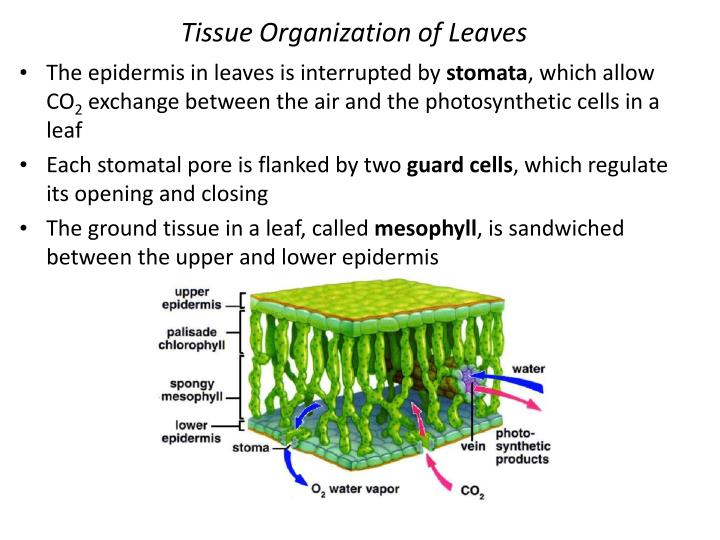Tissue Organization of Leaves