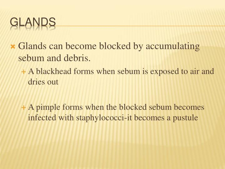 Glands can become blocked by accumulating sebum and debris.