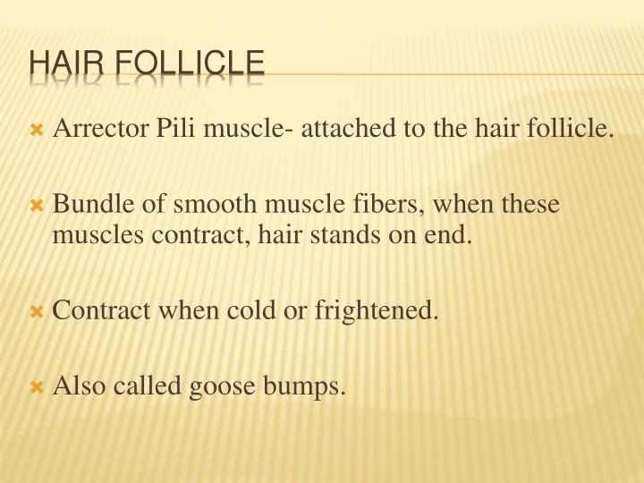 Arrector Pili muscle- attached to the hair follicle.