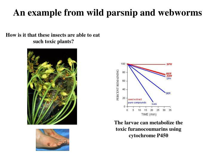 An example from wild parsnip and webworms