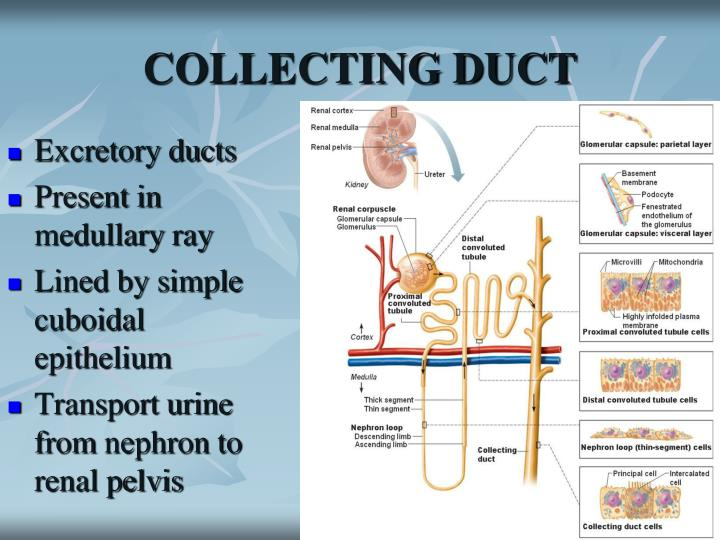 COLLECTING DUCT