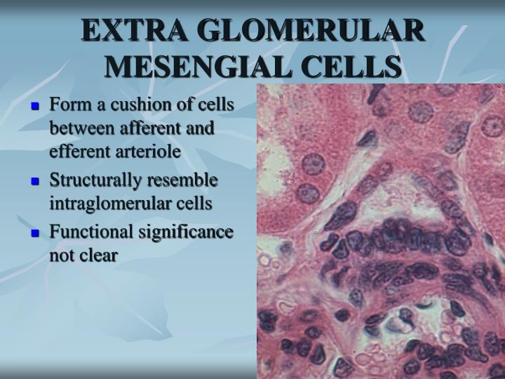 EXTRA GLOMERULAR MESENGIAL CELLS