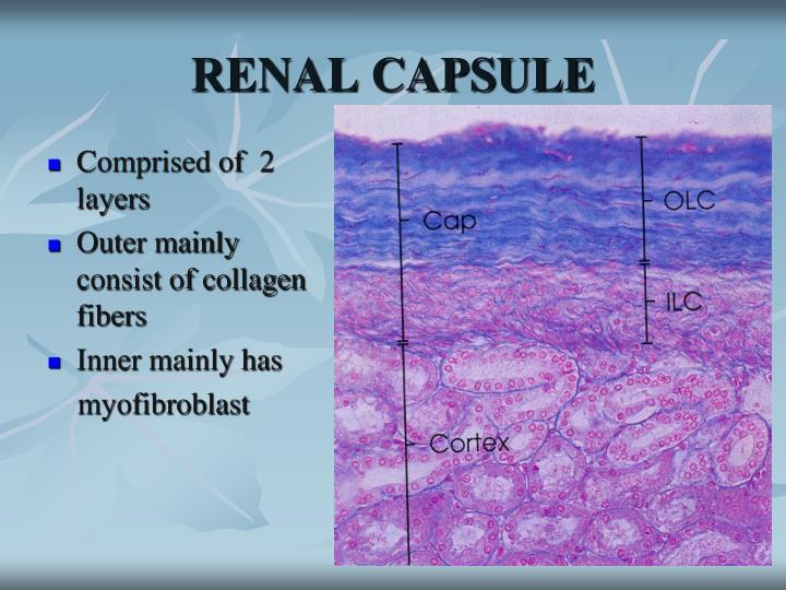 RENAL CAPSULE