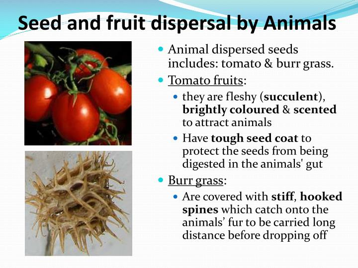 fruits and seed dispersal The second type of seed dispersal involves adaptations for clinging to an animal some fruits have evolved hooks or barbs that cling to the animal other fruits contain a sticky substance that allows the seed to adhere to an animal as it eats the fruit.