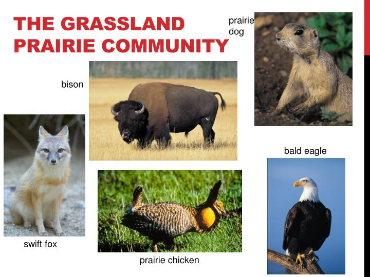 The Grassland Prairie Community