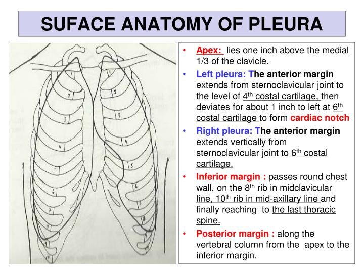 Ppt Pleura And Lung Powerpoint Presentation Id2308086