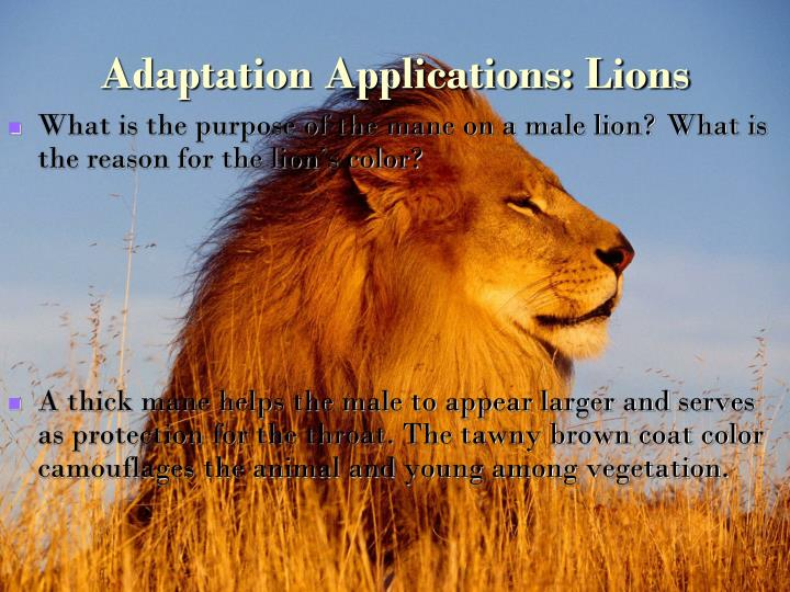 Adaptation Applications: Lions