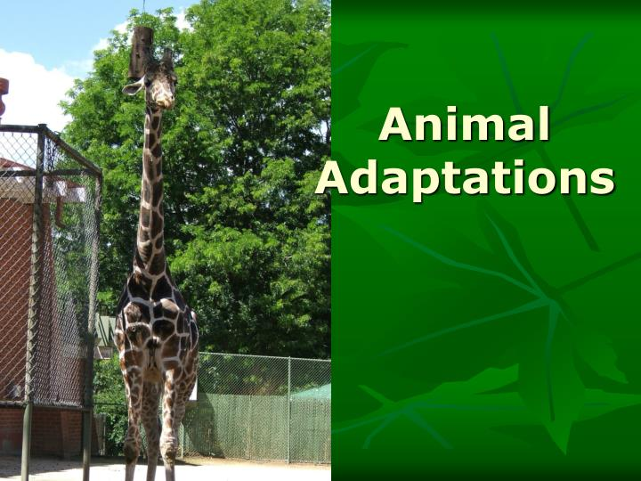 animals adapt environment they live Animals with hooves use their specially adapted feet to maneuver in a rocky environment hooves protect the feet of these animals and allow for greater mobility than unprotected feet.