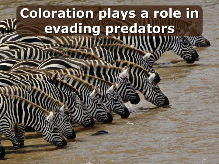 Coloration plays a role in evading predators