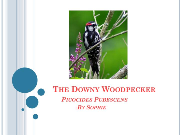 the downy woodpecker p icocides pubescens by s ophie n.