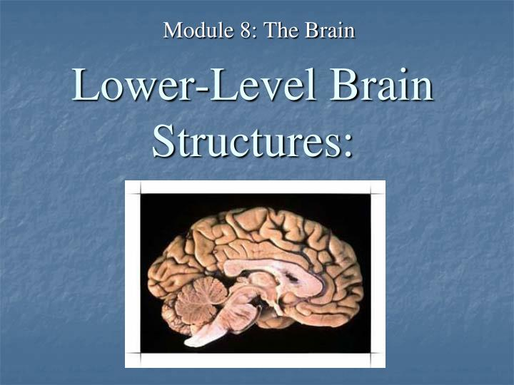 lower level brain structures n.