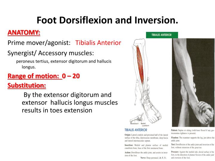 PPT - Knee and Ankle PowerPoint Presentation - ID:2313117