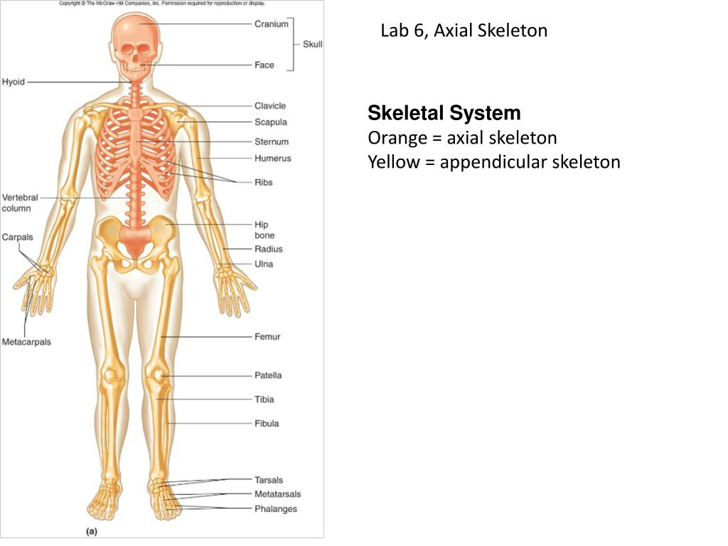 Ppt Skeletal System Powerpoint Presentation Id2313195