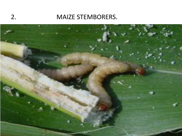 2.                         MAIZE STEMBORERS.