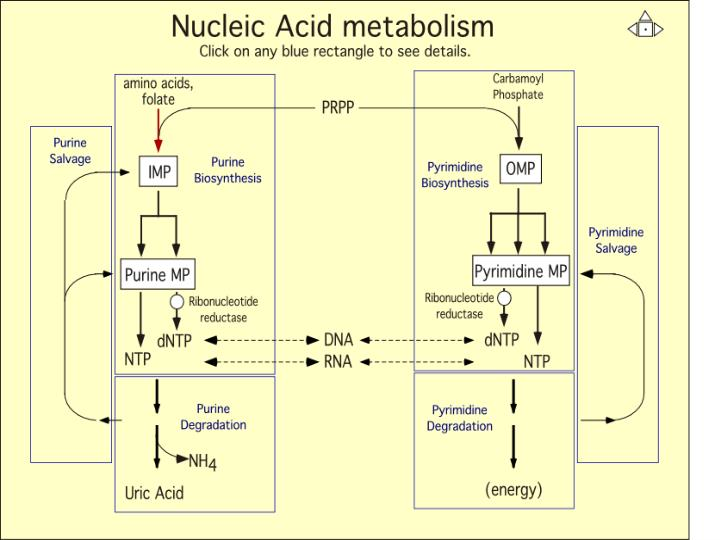 Nucleic Acid Metabolism Overview