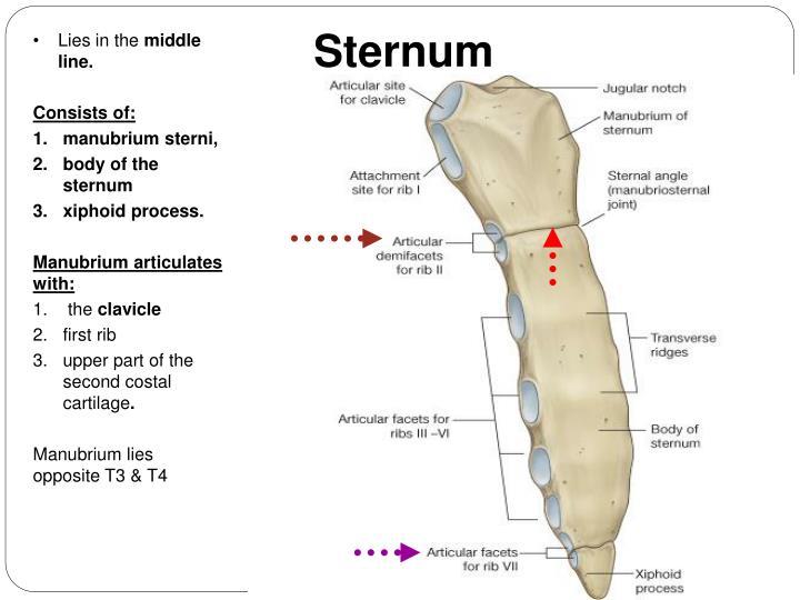 manubrium articulates with