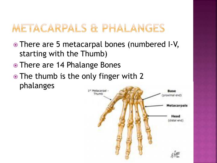 numbered metacarpals bone - 720×540