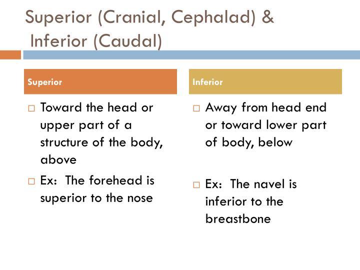 Superior (Cranial,