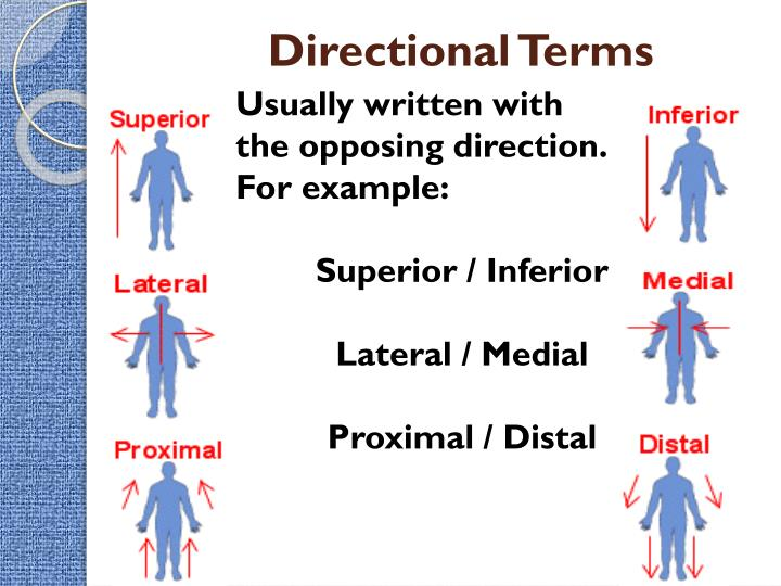 Ppt Intro To The Human Body Directional Terms Planes Quadrants