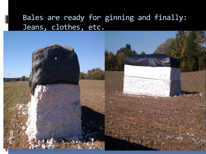 Bales are ready for ginning and finally: Jeans, clothes, etc.